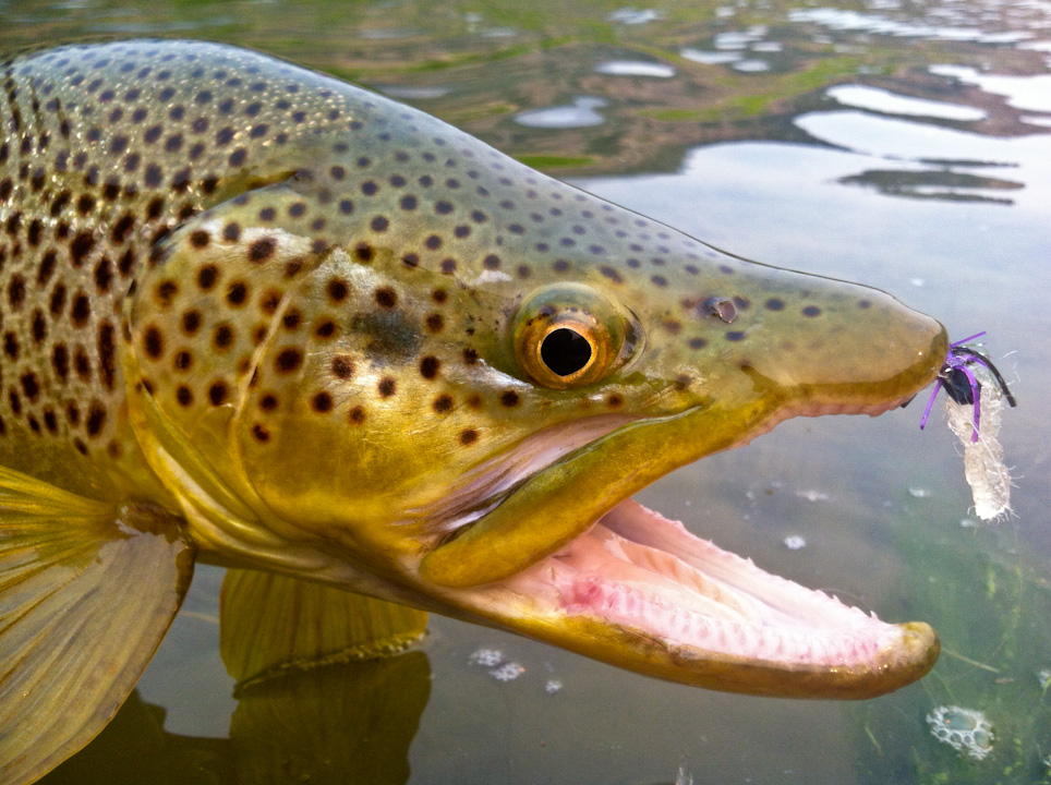 Wyoming fly fishing 307 outfitters for Bighorn river fly fishing